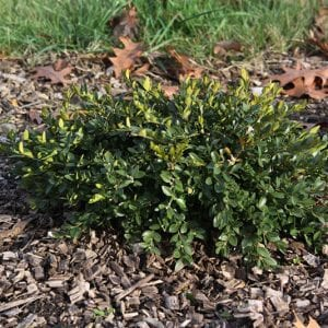 Buxus x Prostrate
