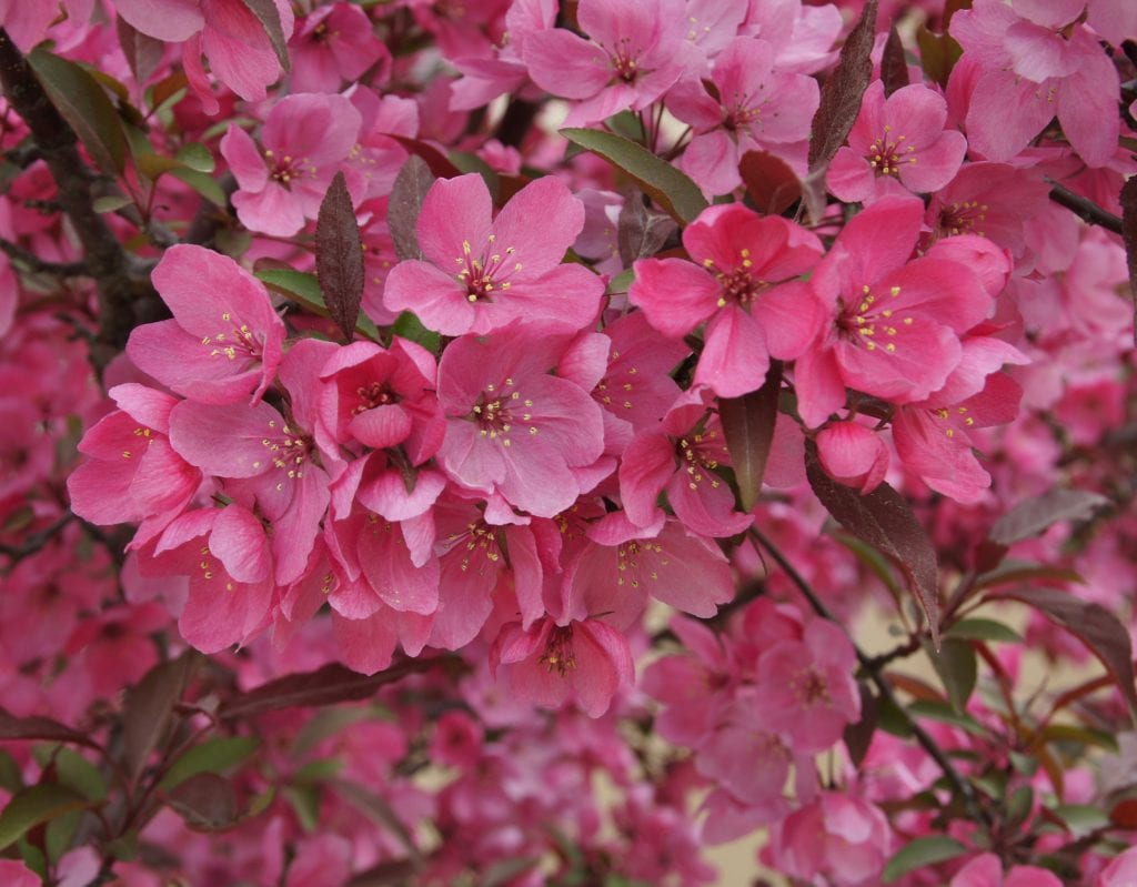 Malus Showtime Flowers