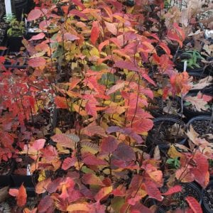 Carpinus car Wisconsin Red